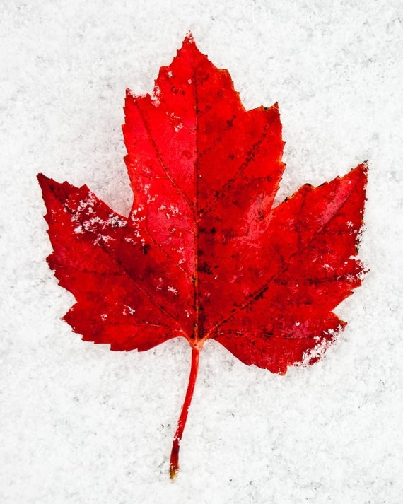 Red Autumn Leaf in the Snow- 8 x 10 Photography Art Print