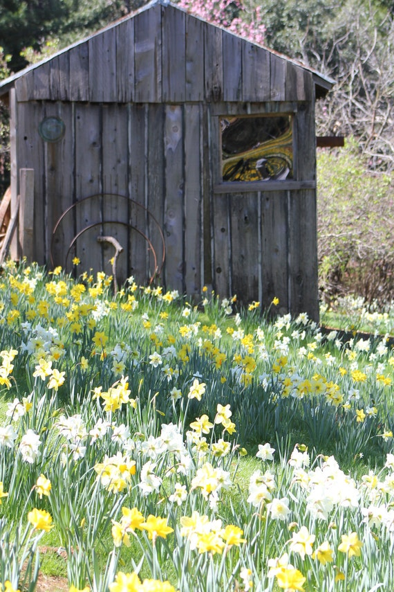 16x20 Photo on Canvas--Daffodil Hill Old Pump House