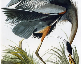 John James Audubon Reproductions - Birds of America, Great Blue Heron, 1827-1835. Fine Art Print.