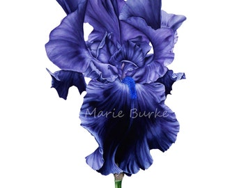 Art Print, Iris, Botanical Print, Gift for Her, Flower Painting, Illustration, Watercolor