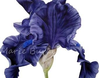 Black Iris Botanical Print, Irises, Fine Art Print, Watercolor Flower Painting, Botanical Illustration Home Decor, Gift Ideas, Watercolour