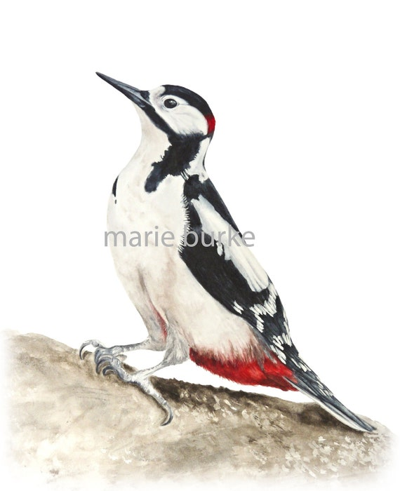 Great Spotted Woodpecker - fine art print, watercolor bird print