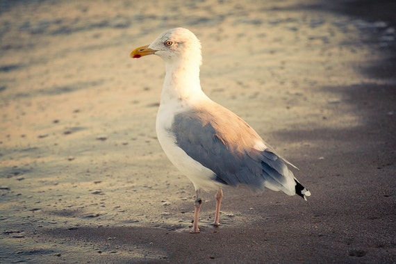 Original Art Print, Seagull Ocean Bird, Yellow Warm Beach, 8x10 or 8x12, Summer Photography