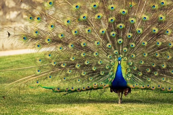 Peacock Photography, Fine Art Photography, Peafowl Showing off Feathers print canvas or photo paper 8x12 or 8x10, under 30, under 25