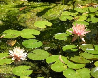 Lily Pond Photograph with Photo Mat