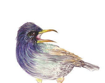 Starling Two - The brother- Original Colour Pencil Drawing - 8 x 6 inch - Print