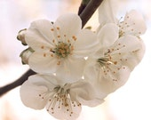 Free Shipping Nature Spring Flowers Art Photography - Cherry Tree Blooms Blossoms Pink White Macro