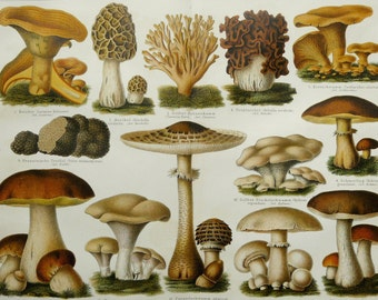 1897 Antique fine lithograph of MUSHROOMS and FUNGUS. Meadow, Penny Bun, Red Pine. 119 years old gorgeous print.