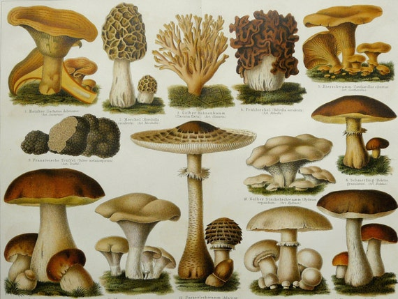 1897 Antique fine lithograph of MUSHROOMS and FUNGUS. Meadow, Penny Bun, Red Pine. 115 years old gorgeous print.