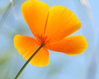 California Poppy Photo Orange Flower Nature Photography Wildflower Picture Wall Art Print
