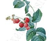 RASPBERRIES Instant download Large Digital Image, digital downloads botanical illustration Redoute 077