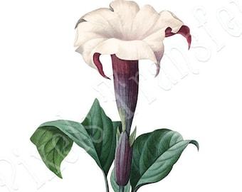 MOONFLOWER Instant Download, Botanical Print, Large Digital Image, vintage illustration for decoupage Redoute 027