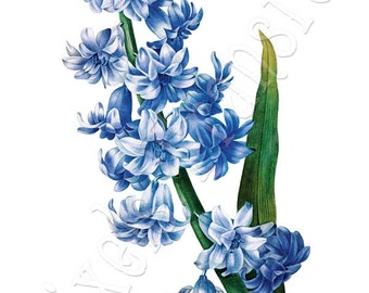 HYACINTH Instant Download Large Digital Image, blue flower vintage botanical illustration Redoute 037