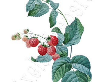 RASPBERRIES Instant download Large Digital Image, digital downloads botanical illustration Redoute 077
