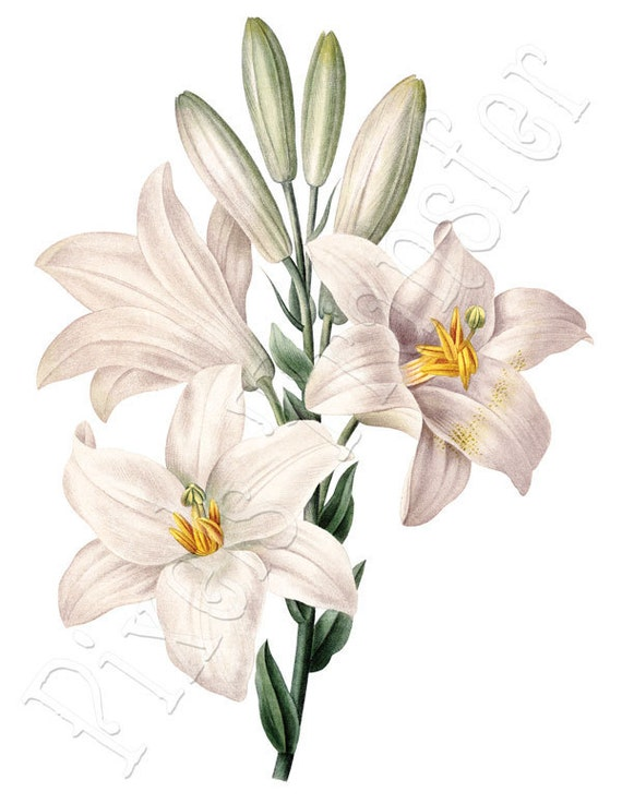 WHITE LILIES Instant Download Large Digital Image, digital download botanical print Wedding Clipart Redoute 029