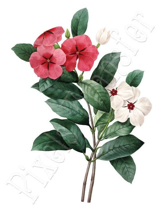 PINK FLOWERS Instant Download Large Digital Download VINCA old botanical illustration Redoute 059