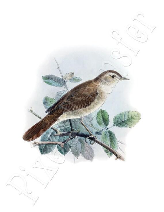 NIGHTINGALE Instant Download Digital Download, natural history birds illustration 095