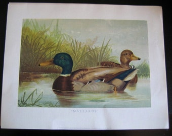 """Vintage Duck Art Print,  """"Mallards"""" by  A. Pope Jr. 4,  Ducks Unlimited Sponsor Print - Home or Office Decor - Hunting Cabin"""
