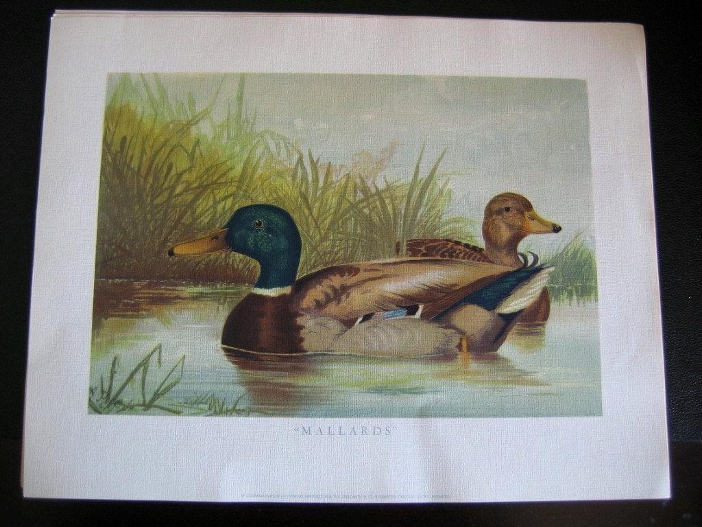 Https Www Etsy Com Listing 98355646 Vintage Duck Art Print Mallards By A