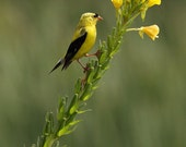 American Goldfinch Bird on Yellow Flower photograph, vertical 4x5 print matted on white 5x7 mat.  Goldfinch perched on evening primrose