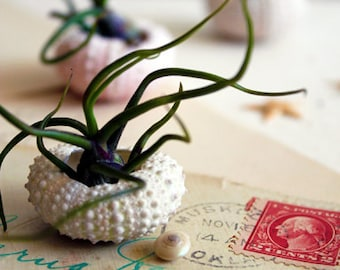 miniature medusa // air plant garden