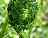 Fiddlehead, Fern of the Forest, Green Fern, Spirals in Nature, Sacred Geometry, Forest Food, Photograph or Greeting card, macro