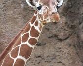 Stella the Giraffe Laughing Philadelphia Zoo Wildlife Kids Adults Wall Art Photograph