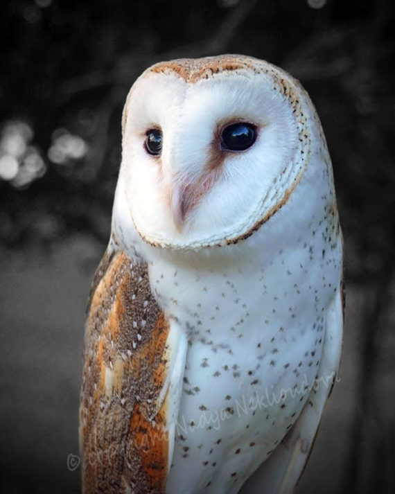 Barn Owl - photo print 8x10 inches (20x25cm) - Fine Art nature decor bird photography, owl wall art