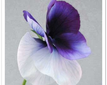Purple Pansy Art - Set of 2 photographs