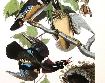 Wood Duck 1979 Vintage Audubon Bird Print Book Plate