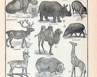 Typical Hoofed Animals 1914 Vintage Dictionary Book Plate Black and White
