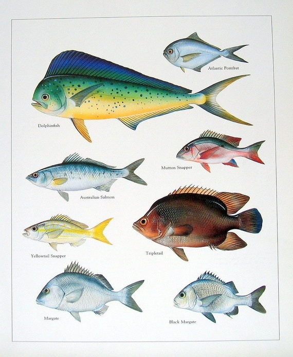 Dolphinfish, Australian Salmon, Mutton Snapper, etc. Vintage 1984 Fish Book Plate