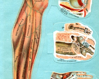 Original MANIKIN 1912 Leg, Eye, Ear and Hand Medical Illustration with Four Overlays Plus Bottom Page Illustration