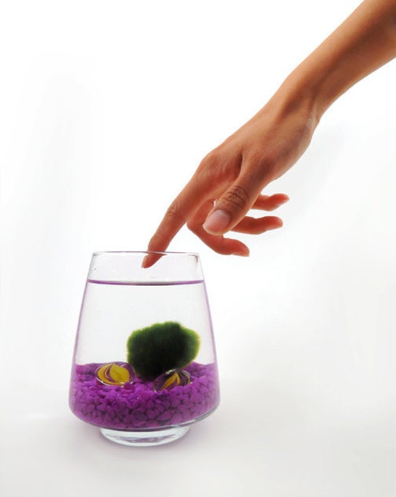 Marimo Pet in the Purple Sea