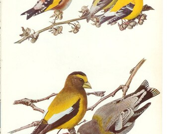 1936 Bird Print - Plates 79 & 80 - Goldfinch - Vintage Antique Art Illustration by Louis Agassiz Fuertes 75 Years Old