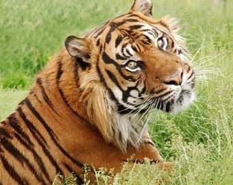 Tiger Wildlife Photograph - 5x5 - nature, natural history, big cats, wildlife, Jungle