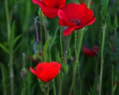 Three Red Poppies - A Fine Art Photograph