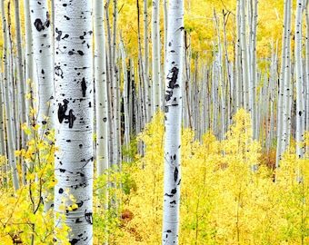 Aspen Trees Aspens Colorado Fall Gold Leaves Autumn Forest Golden Woods Cabin Lodge Rustic Art