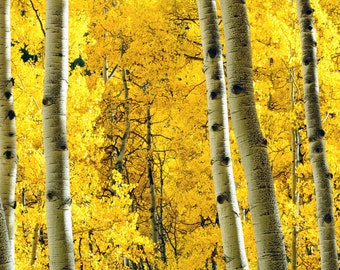 Aspens Fall Golden Leaves Autumn Yellow Trees Aspen Photo Rustic Cabin Colorado