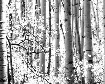 Aspen Trees BW Colorado Aspens Autumn Forest Fall Leaves Rustic Cabin Lodge Photograph