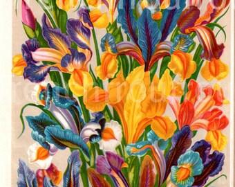 antique botanical print iris hispanica DIGITAL DOWNLOAD