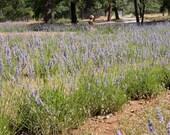 Bulk Lavender Flowers-1 gallon bag Hand Harvested