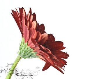 Valentines Day Gifts For Her, Red Gerbera Daisy Floral Photography Print, Entryway Decor, Housewarming Gift for Mom, 8x10 8x12 11x14 12x18
