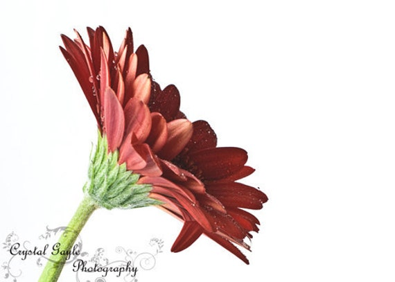 Flower Photograph, Crimson Red Gerbera Daisy Bedroom Wall Accent,  Botanical Print, Office Desk Unframed Picture, 8x10 8x12 11x14 12x18 Inch
