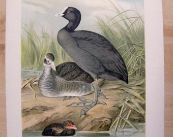 1880 Antique DUCK  print, Lithograph of  Fulica atra,  a couple of wild ducks with their baby duck, Large size print