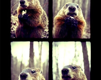 Cute Animal Photography - Groundhog Day - Marmot 5x7 Print - Funny Animal Eating - Nature Photograph - Forest - Wildlife