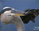 A Great Blue Heron With a Fish on Its Beak A  Bird Fine Art Photo