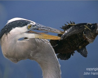 A Great Blue Heron With a Fish on Its Beak A  Bird Fine Art Photo