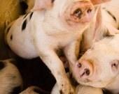 This Little Piggy - Fine Art Photography - Pig Décor - Nature Photography
