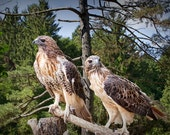 Pair of Red-tailed Hawk Predator Birds looking for Prey in a West Michigan Woodland No.03462 - A Fine Art Bird Nature Photograph